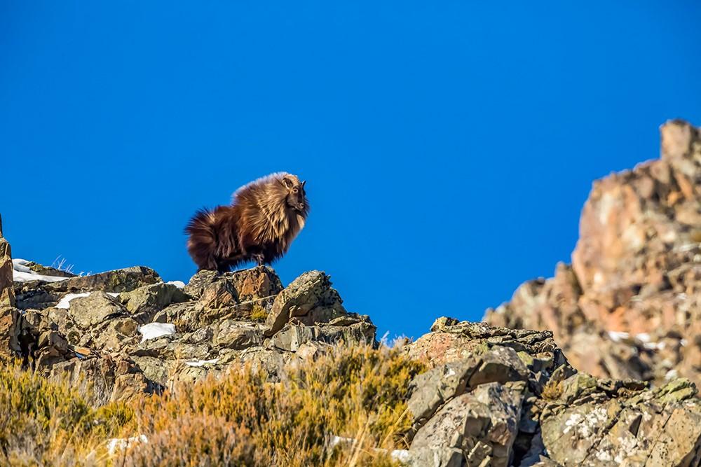 Bull Tahr Hunting New Zealand at Glen Dene