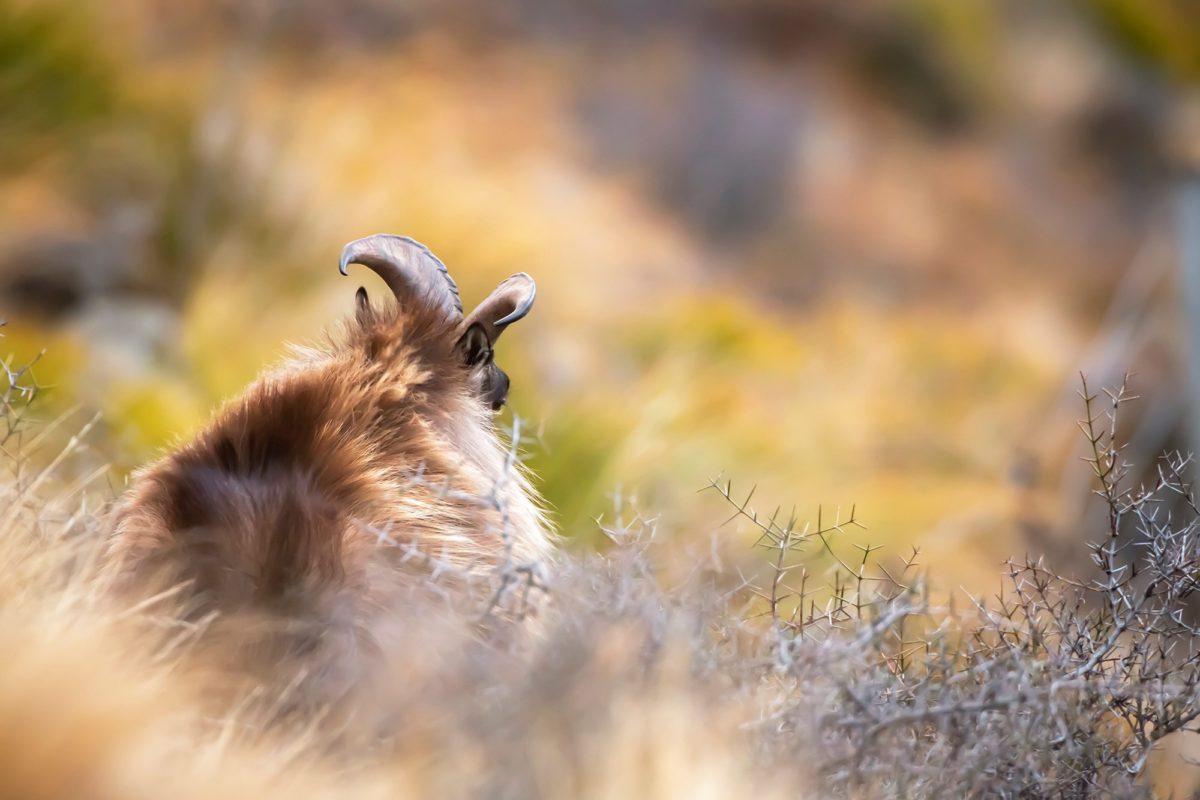 Bull Tahr Hunting New Zealand South Island at Glen Dene Otago